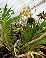 Grammatophyllum speciosum - Internationale Orchideen- und Tillandsienschau Blumengärten Hirschstetten 2016 a.jpg