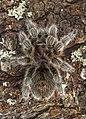 Grammostola rosea (16609732600).jpg