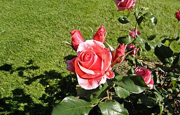 Grandiflora - Montezuma 2 (c).JPG