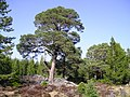 Granny Pines - geograph.org.uk - 763676.jpg