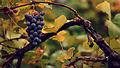 Grapess Edit1.jpg