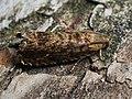 Grapholita janthinana - Hawthorn leafroller - Листовёртка плодовая (42987721061).jpg