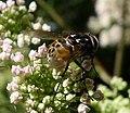 Graphomyia maculata.^ Male - Flickr - gailhampshire.jpg