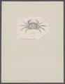 Grapsus sanguineus - - Print - Iconographia Zoologica - Special Collections University of Amsterdam - UBAINV0274 094 04 0009.tif