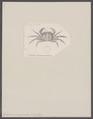 Grapsus sanguineus - - Print - Iconographia Zoologica - Special Collections University of Amsterdam - UBAINV0274 094 04 0009.tif