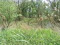 Grasachtige hogere vegatie Biesbos.JPG