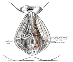 The superficial branches of the internal pudendal artery.