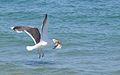 Great Black-Backed Gull with Flounder (5974497135).jpg