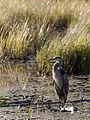 Great Blue Heron, Algonquin Park.jpg
