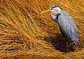 Great Blue Heron at Lake Woodruff - Flickr - Andrea Westmoreland (6).jpg