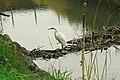 Great Egret on Secondary Beaver Dam lower Walnut Creek Courtesy Cheryl Reynolds 2013.jpg