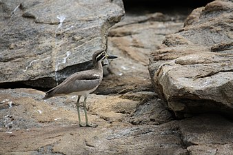 Great Stone-Plover or Great Thick knee 1 (pix SShukla).JPG
