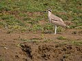 Great Thick-knee (23349495660).jpg