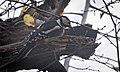 Great spotted woodpecker (50593253506).jpg
