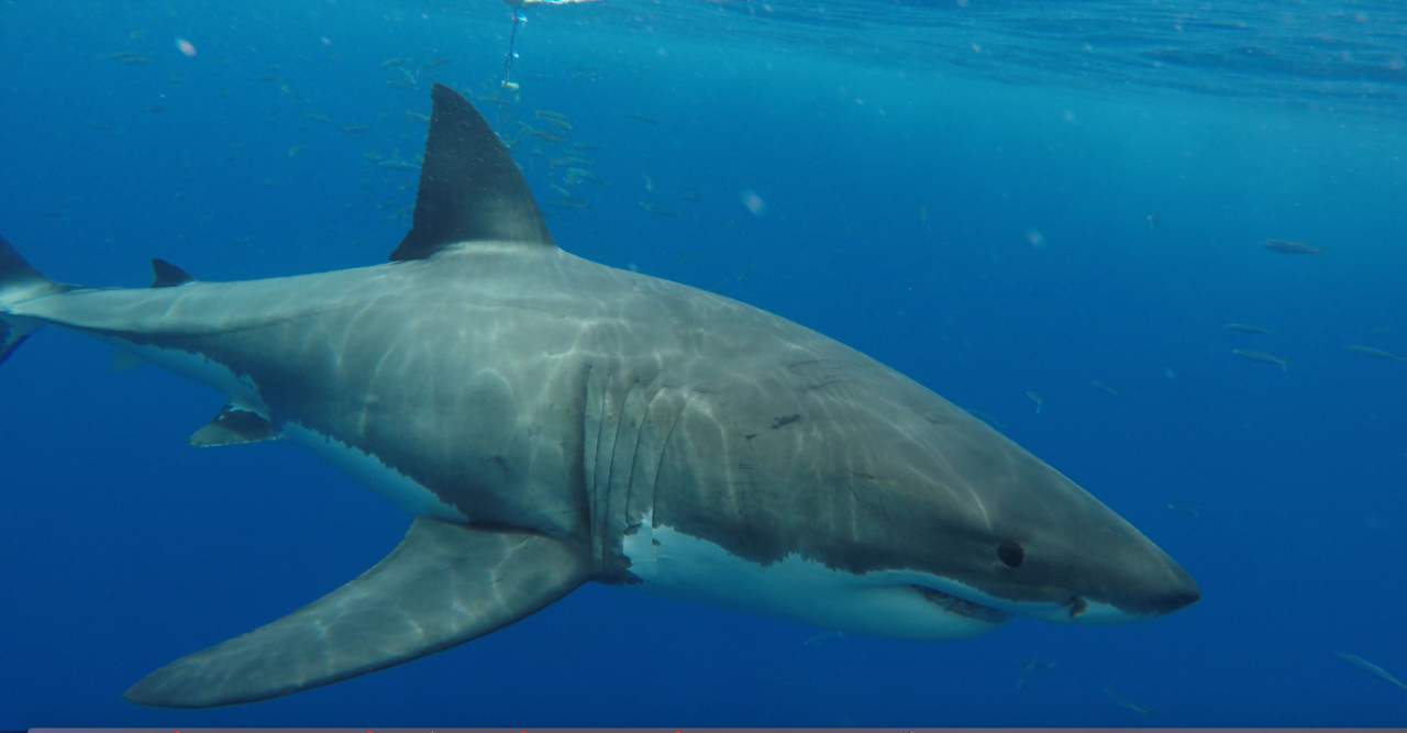 file great white shark at isla guadalupe  mexico  november