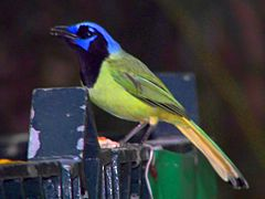 Greater Green Leafbird.jpg