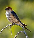Greater Striped Swallow (Cecropis cucullata) (31008773580)