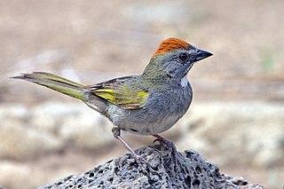 Green-tailed towhee species of bird