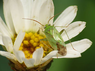Miridae - A typical species of Miridae, showing cuneus at the tip of the corion