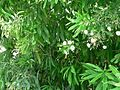 Green bush with white flowers.jpg