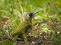 Green woodpecker (40842867993).jpg