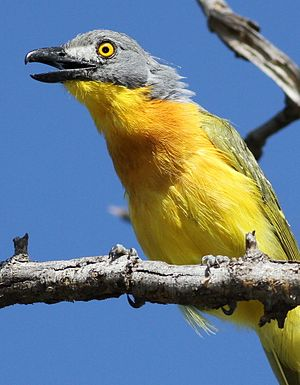 Grey-headed bushshrike, Malaconotus blanchoti at Marakele National Park, Limpopo, South Africa (16313576081).jpg