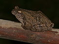 Grey Foam-nest Treefrog (Chiromantis xerampelina) that spend daytime on the fridge and come out at night to feed on bugs attracted by kitchen light (11423526504).jpg