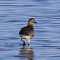 Grey Plover - Kustpiparen (Pluvialis squatarola)-3217 - Flickr - Ragnhild & Neil Crawford.jpg