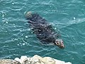 Grey Seal off Berry Head (1).jpg