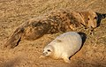 Grey Seals IMG 8829 - panoramio.jpg