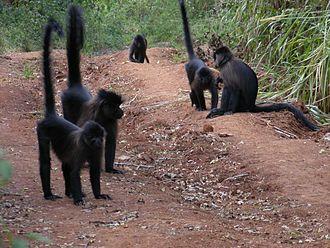 Uganda mangabey - The Uganda mangabey will come to the ground to cross roads, forage and socialise.