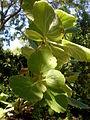 Greyia flanaganii 1c.JPG