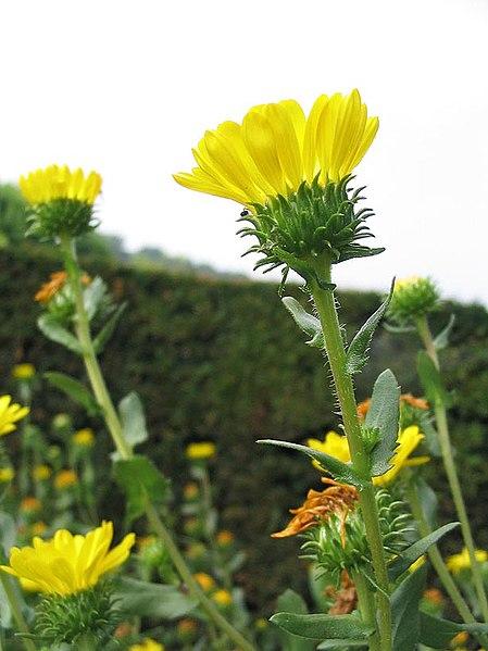 Image:Grindelia robusta.jpg