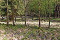 Großenaspe Wald nahe Halloher Moor 2.jpg