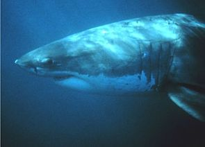 Weißer Hai (Carcharodon carcharias)