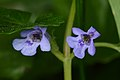 Ground-Ivy (Glechoma hederacea) - Kitchener, Ontario.jpg