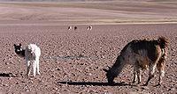 Llamas en el Desierto de Atacama