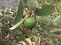 Guava Thailand.jpg