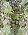 Guazuma ulmifolia (Malvaceae) - Fruit.jpg