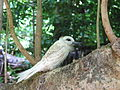 Gygis alba -Cousin Island -Seychelles -juvenile-8.jpg