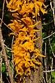 Gymnosporangum telia emerging from Juniperus 0406.jpg