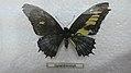 Gynandromorph butterfly (33400976872).jpg