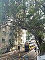 HKU 港大 near 香港島 半山區 Mid-Levels 般咸道 Bonham Road 老榕樹 old banyan trees May 2018 LGM 01.jpg