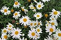 HK 海洋公園 Ocean Park white flowers daisy April 2017 IX1.jpg