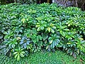 HK Mid-levels Pok Fu Lam Road green leave plant 鴨腳木 Schefflera actinophylla Mar-2013.JPG