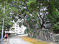 HK Sheung Wan 上環 醫院道 Hospital Road Chinese Banyan Trees June-2012.JPG