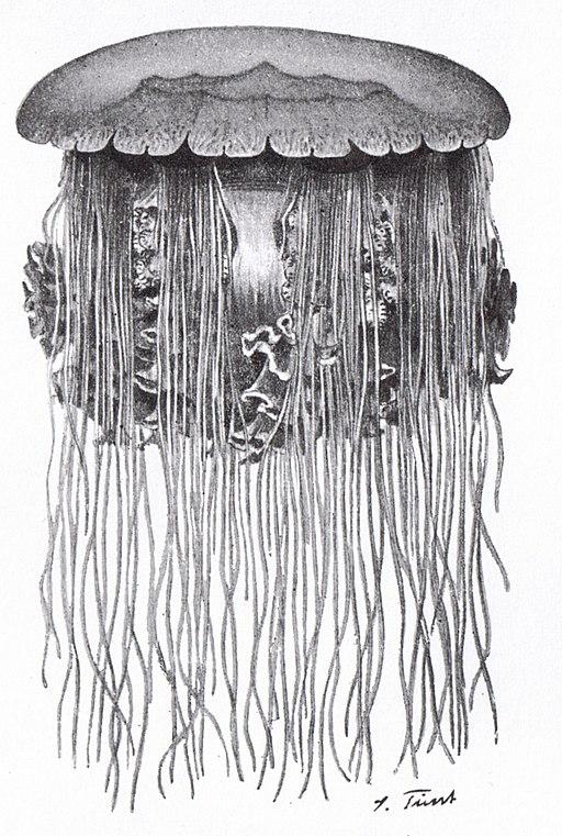Haarqualle (Cyanea capillata)
