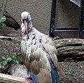 Hadada Ibis (2316840367).jpg