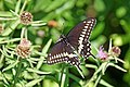 Halifax DSC08398 - Black Swallowtail (35934719730).jpg