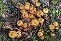 Haltern am See, Silbersee III, Pholiota squarrosa -- 2020 -- 3242.jpg